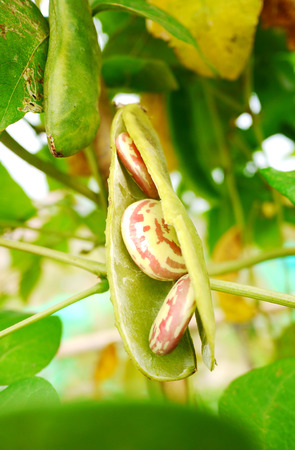 Lima bean in the tree The beans can be found in a pod, It containing 3 beans