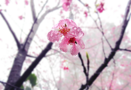 Waterdrop in cherry blossoms in full bloom