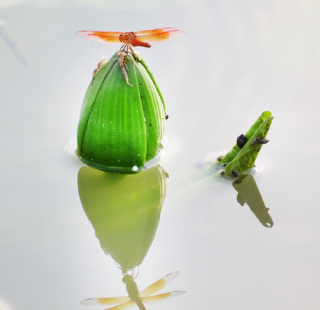 This is a dragonfly on a Lotus bud that is in the pond