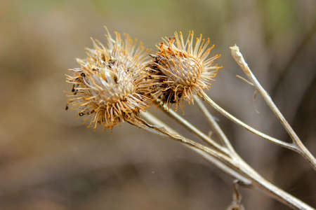 dry autumn spines of dried burdock closeup on a blurred background Banco de Imagens