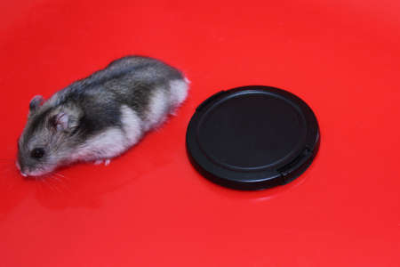 a little hamster is playing, a rodent on a uniform background, a cover from the camera Stockfoto