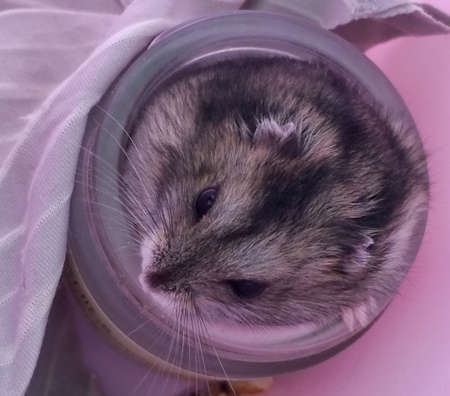 cute dzungarian hamster on a pink background