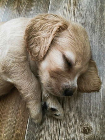 little cute puppy sleeps sweetly at home Archivio Fotografico