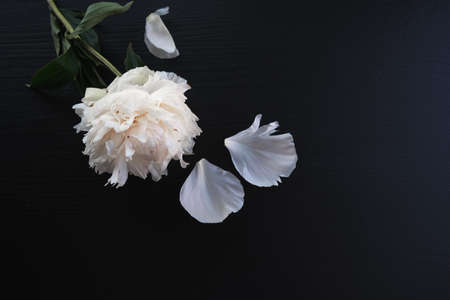 rose and white petals on a dark wooden background Imagens
