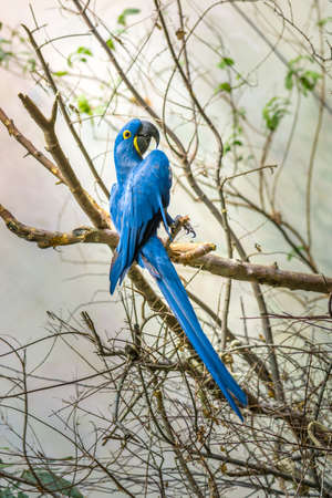 The hyacinth macaw is a large parrot with blue plumage with yellow eyes ring.