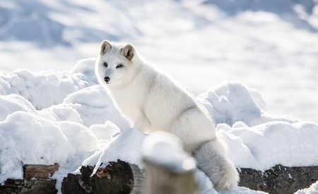 Arctic Fox on a Hill at Omega  Park, Montebello, Quebec, Canada