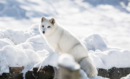 Arctic Fox on a Hill at Omega  Park, Montebello, Quebec, Canada