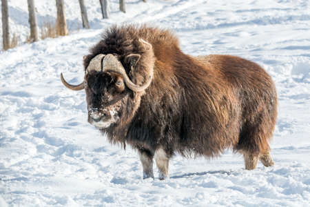 Snowy Nose Muskox on a Sunny December Day