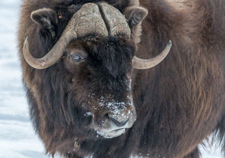 Muskox Side Look WIth a Winter Snowy Nose