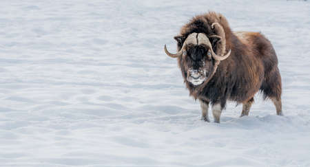 Muskox Looking in Your Eyes, standing in the snow.