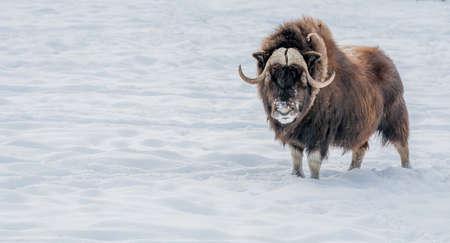 Muskox schaut in deine Augen und steht im Schnee. Standard-Bild