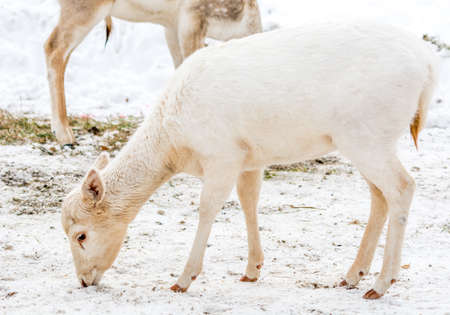 White-Tail Albinos Young Deer Stock Photo
