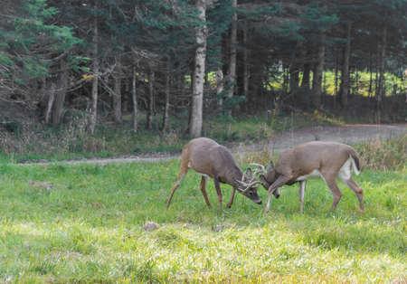 Deers Fighting for Love