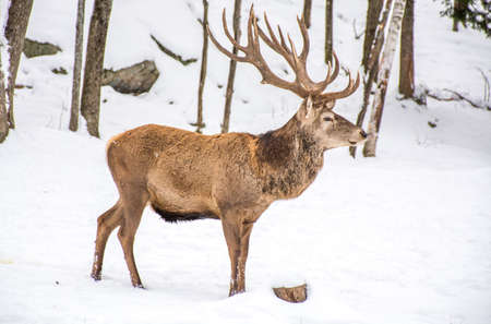 Male Deer Profil View in the Winter Woodland Covered of Snow.