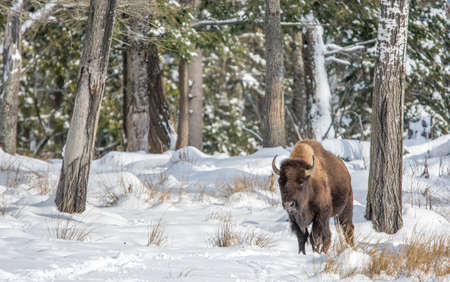 Solo Buffalo  In Snow on a Sunny Day Stock fotó