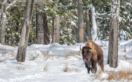 Solo Buffalo  In Snow on a Sunny Day Banco de Imagens