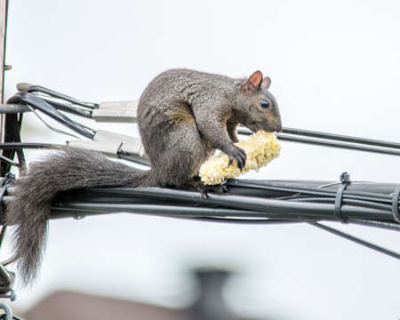 Corn on the Cob  for an Agile Squirrel Up In The Air Imagens