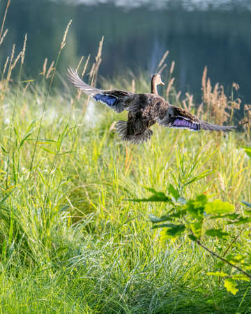 Mallard Duck Take-Off, Lac des Habitants, Lamarche, Quebec, Canada