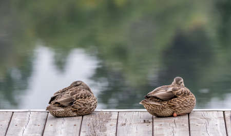 Sleeping Beauties, Mallard Ducks Twins on a Pier Taking a Nap. Lamarche, Lac St-Jean, Quebec, Canada