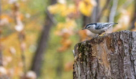 White-breasted nuthatch at Tylee Marsh, Rosemere, Quebec Stock fotó