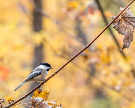 Black-capped Chickadee at Tylee Marsh, Rosemere, Quebec
