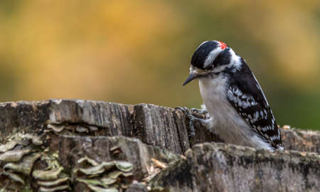 Downy Woodpecker  at Tylee Marsh, Rosemere, Quebec Stock fotó