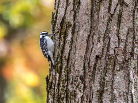 Downy Woodpecker, Tylee Marsh, Rosemere, Quebec