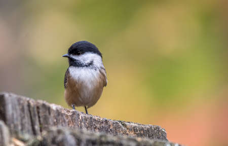 Black-capped Chickadee, Tylee Marsh, Rosemere, Quebec Stock fotó