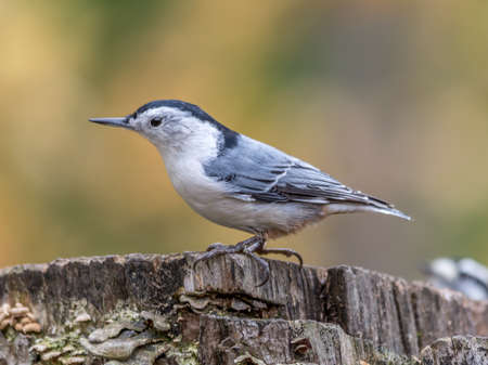 White-breasted nuthatch at Tylee Marsh, Rosemere, Quebec, Canada Stock fotó