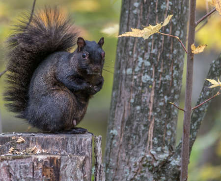 Black Squirrel in Fall, Tylee Marsh, Rosemere, Quebec, Canada