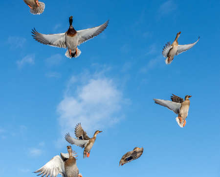Mallards Ballet in the sky.