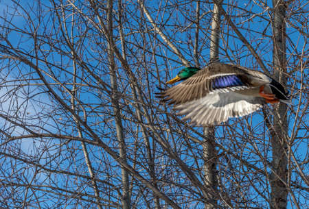 Male Mallard Flying in a Woody Winter Sky
