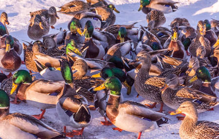 Herd of Mallards Ducks Under the Golden Sunlight