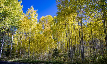 Beautiful Aspen trees during autumn in utah mountains