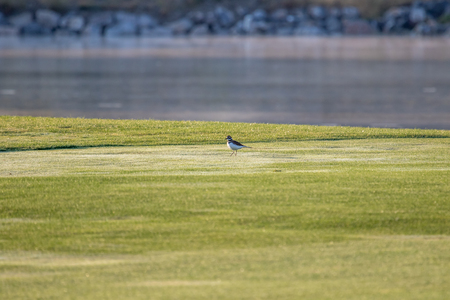 Sandpiper on the golf course with green grass Stock Photo