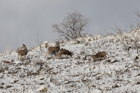 Group of mule deer on the mountainside in winter foraging for food. Stock Photo