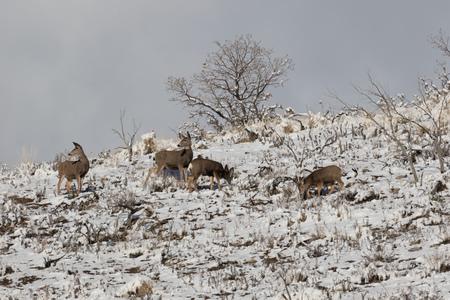 mule deer: Group of mule deer on the mountainside in winter foraging for food. Stock Photo