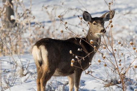 mule deer: Mule deer doe peering through the thistles and weeds at somehting in the distance with ears alert.