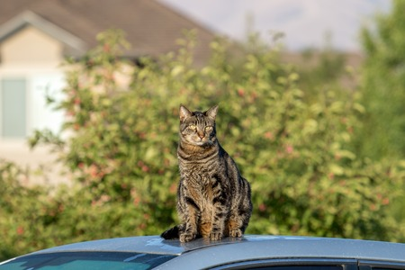 Sly cat sitting on a car in urban setting. King of the neighborhood. Stock Photo