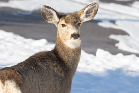 Mule deer doe looing away with ears alert in a winter, sowny setting. Stock Photo