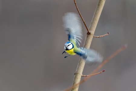 Amazing shot of a Eurasian Blue Tit in flight with wings in blurred motion. Almost impossible shot.