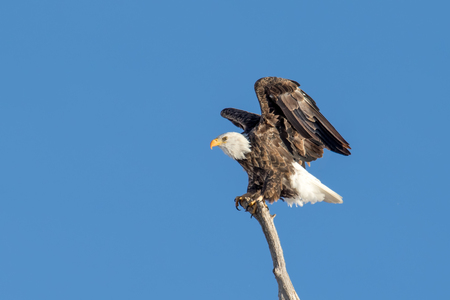 Beautiful bald eagle landing on a tree branch with clear skies. Wings are extended and feather details are visible in stunning detail.