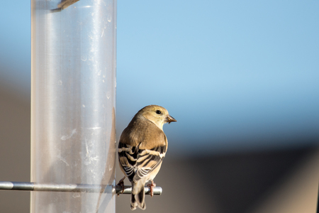 A wild American goldfinch sets on a feeder looking for food Stock Photo