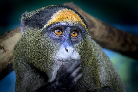 Close up portriat of a golden monkey of Rwanda Stock Photo