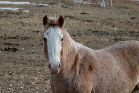 Strawberry roan horse with white face looking a the camera