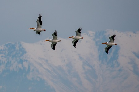 A group of four American White Pelicans on a migration path with the Rocky mountains in the background
