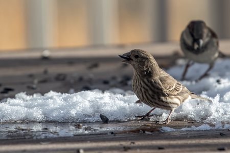 Adult, female house finch eating seeds off a back yard deck with a sparrow in the background Stok Fotoğraf