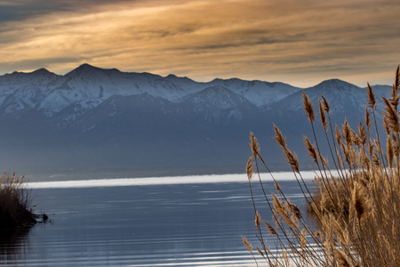 golden river reeds along a lake with a blurred, snow-capped mountain range in the background