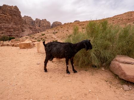 Hungry milk goat eats a shrub in the sandy desert Stok Fotoğraf