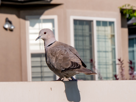 Eurasian Collared Dove sitting on a fence with blurred background Stok Fotoğraf